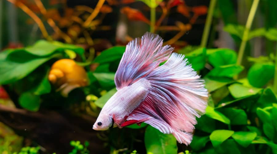 White, pink and blue betta fish swimming in a planted tank