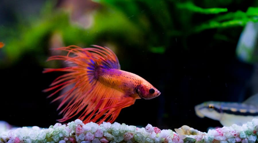 A red betta swimming above multi-colored gravel in a planted tank