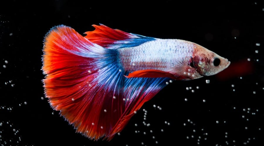 A betta fish swimming through rising bubbles on a black background