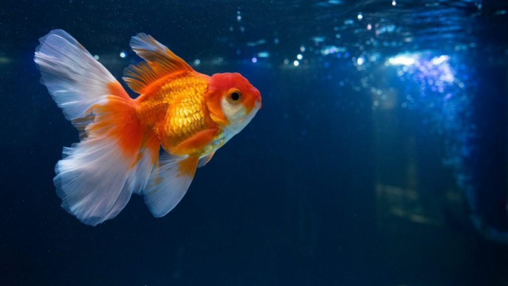 A fancy tailed goldfish swimming against a dark background