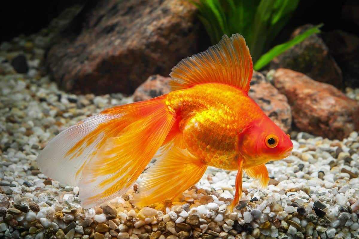 fantail goldfish at the bottom of a gravel lined, planted tank