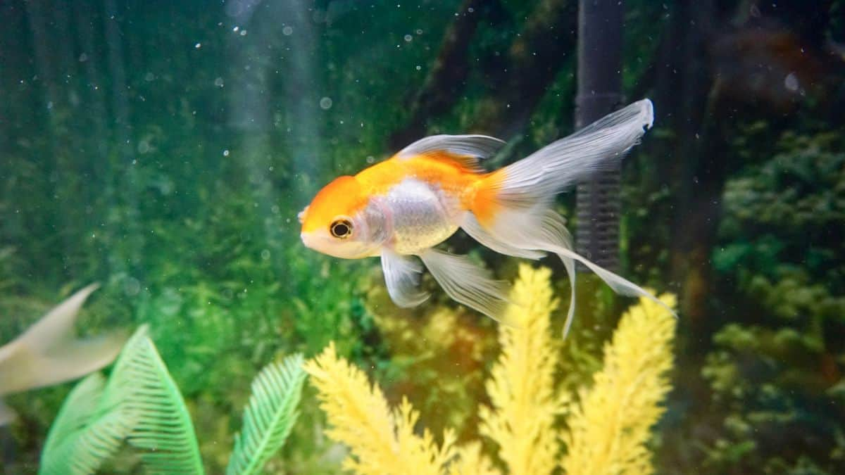 fantail goldfish swimming solitary in a planted tank