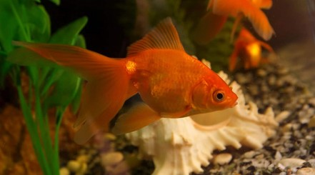 fantail goldfish in front of a shell in an aquarium