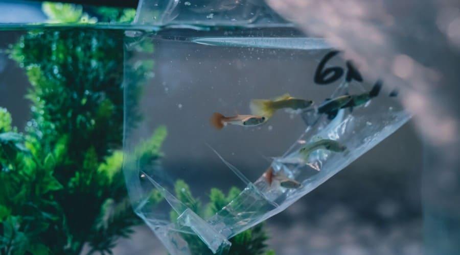 A new fish in a plastic bag, dropped into an aquarium