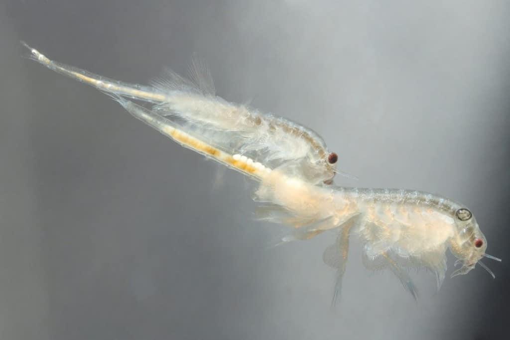 Macro shot of two live brine shrimp swimming
