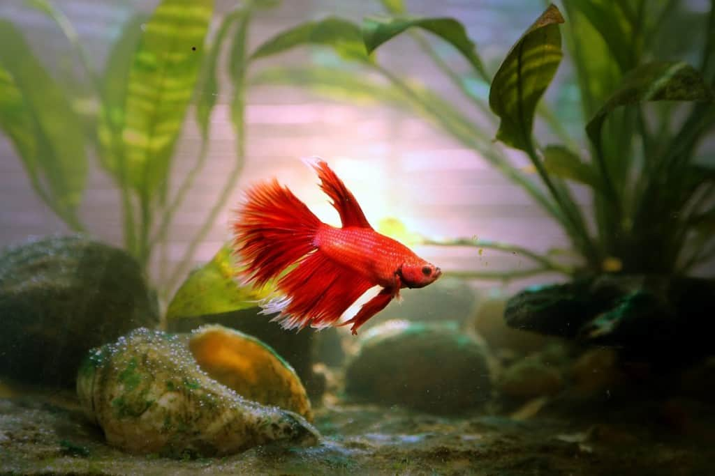 A red betta swimming past a large, empty snail shell