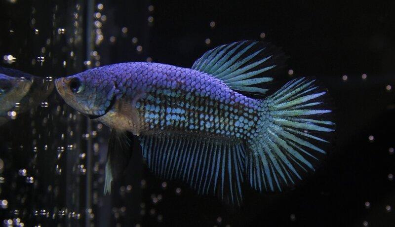 blue betta in dark bowl