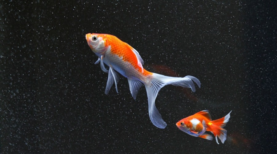 A fancy goldfish following a single tail goldfish as they swim across a black background