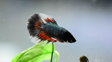 A wild looking betta swimming toward a small snail, with a plant in the background