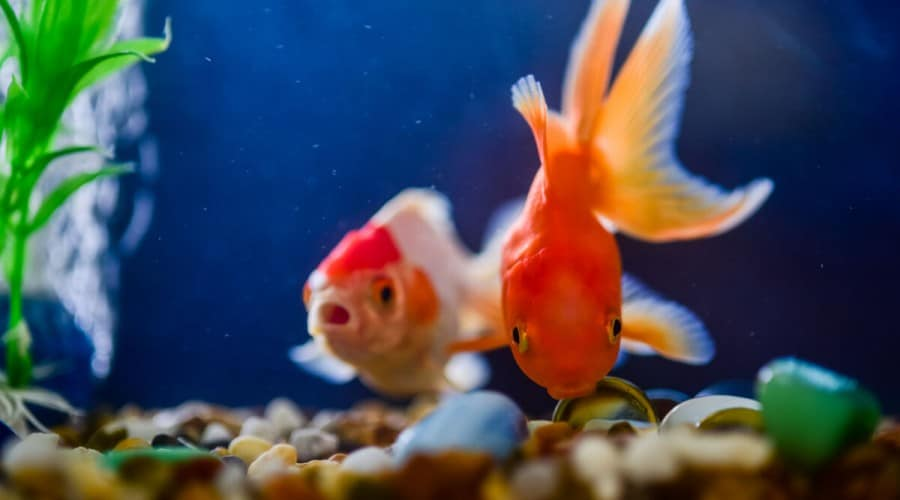 Two goldfish looking toward camera, while swimming in a blue aquarium