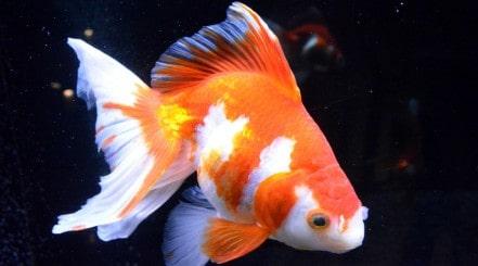 A large orange and white goldfish isolated on a black background