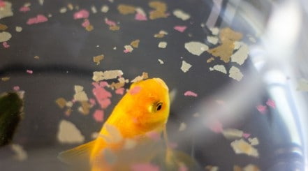 A goldfish swimming at the surface of water that has flakes floating on.