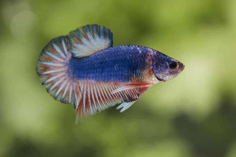 A red, white and blue betta fish, isolated against a blurred planted background