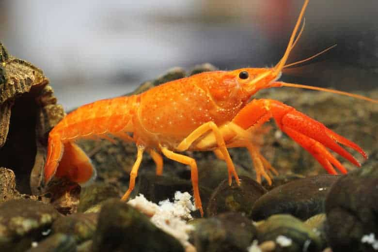 Close up of an orange dwarf crayfish in a gravel bottomed tank