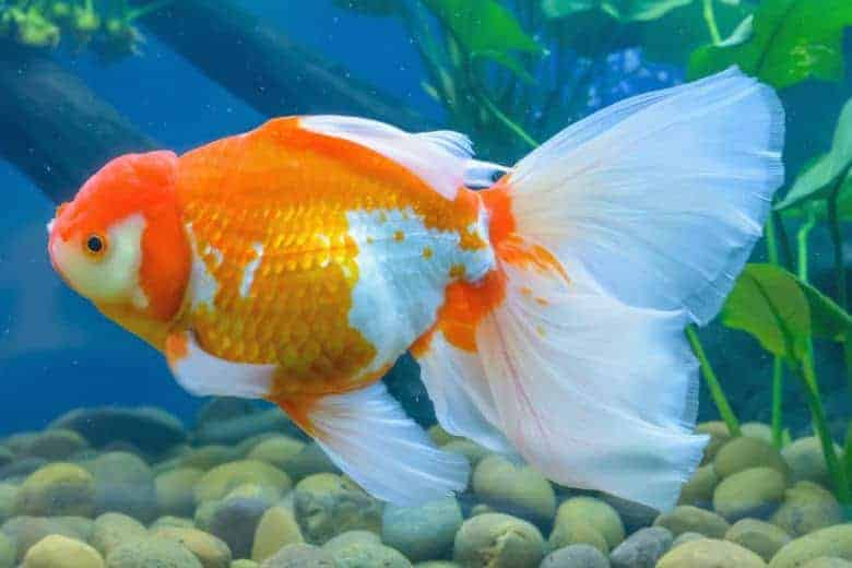 White and orange fancy goldfish with huge fins and a wen hood