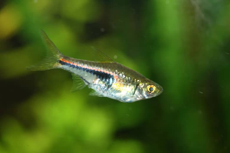 Close up shot of a harlequin rasbora in a planted tank