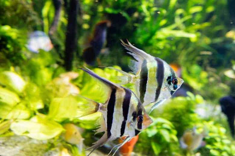 Close up of 2 angelfish