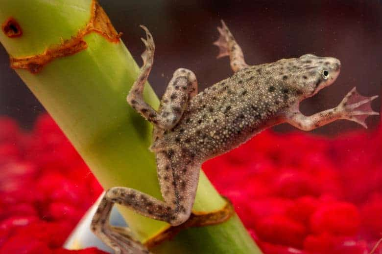 Macro of an African dwarf frog against a red gravel background