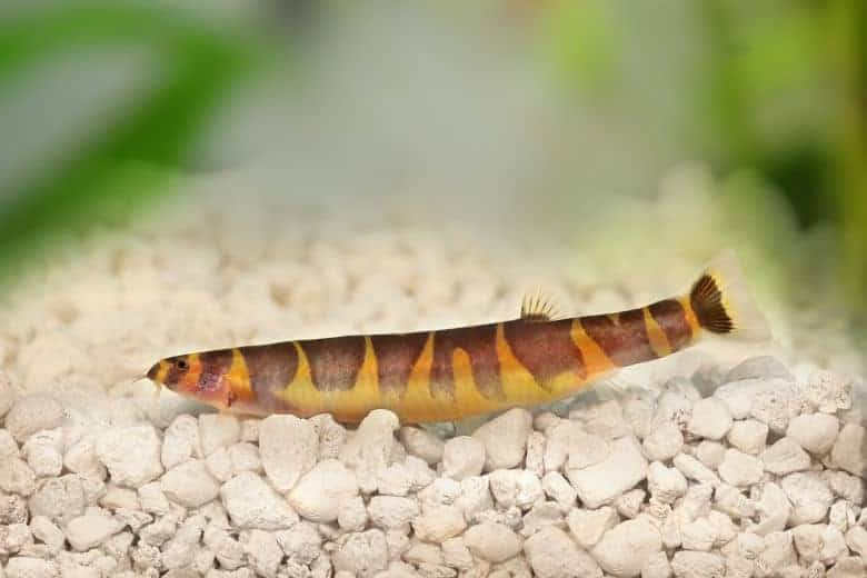 Close up of a kuhli loach resting on white gravel