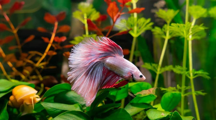 A beautiful pink, white and red betta, with a snail, in a planted tank
