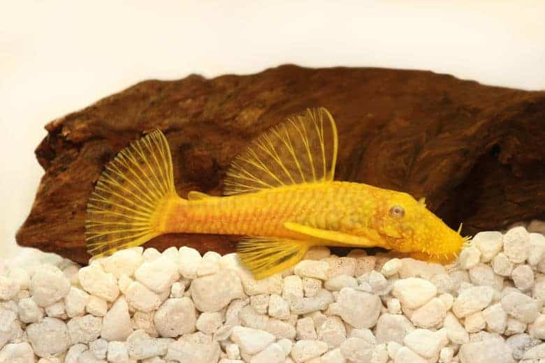 A yellow bristlenose pleco resting on white gravel