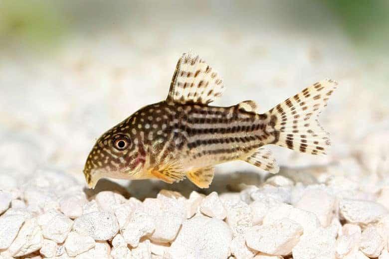 A corydora catfish at the bottom of a gravel lined tank