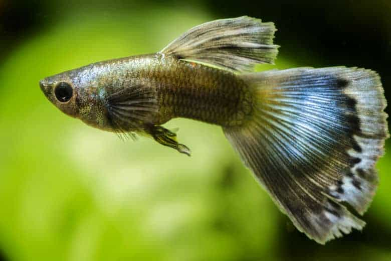 Close up of a brown looking guppy with blue flecks in the tail