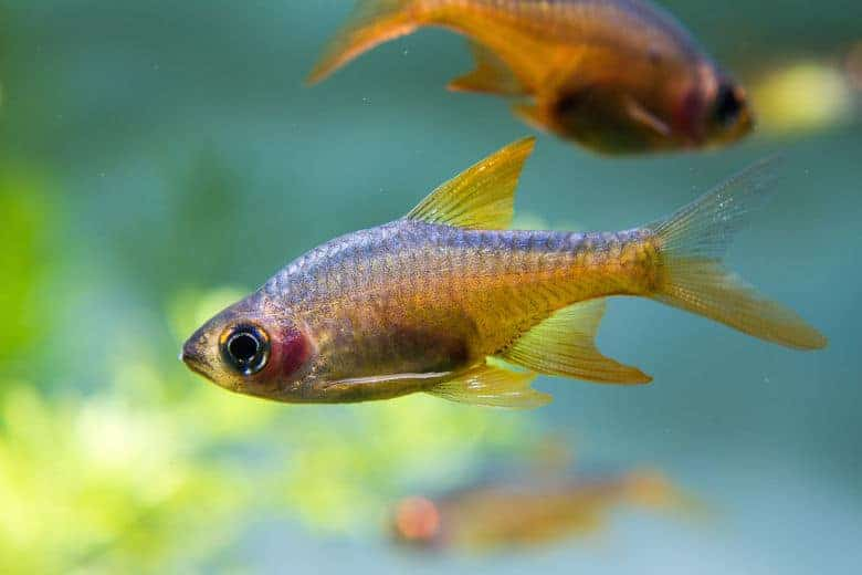 Two fire rasbora in a planted tank