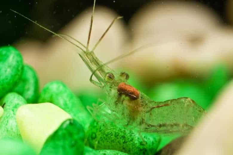 A ghost shrimp resting on large green gravel