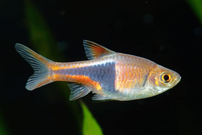 Close up photo of a harlequin rasbora