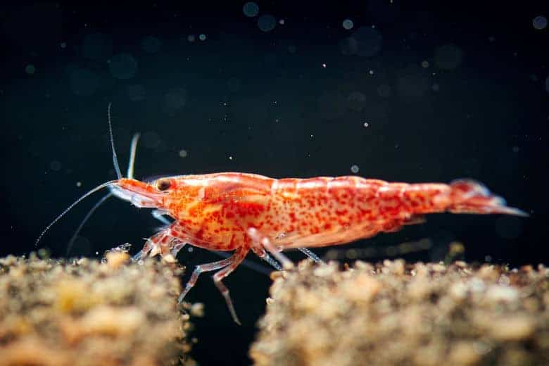 Close up of a red cherry shrimp resting on sand