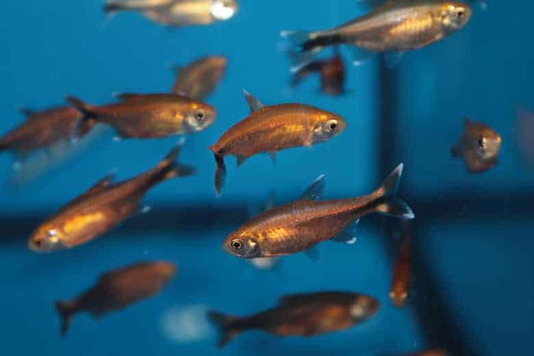 A small community of silver tip tetra