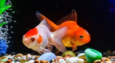 Two fancy goldfish in a gravel bottom tank with black background