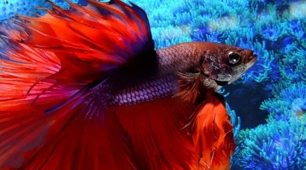 Close up of a red, large finned betta super-imposed over a blurred aquarium background