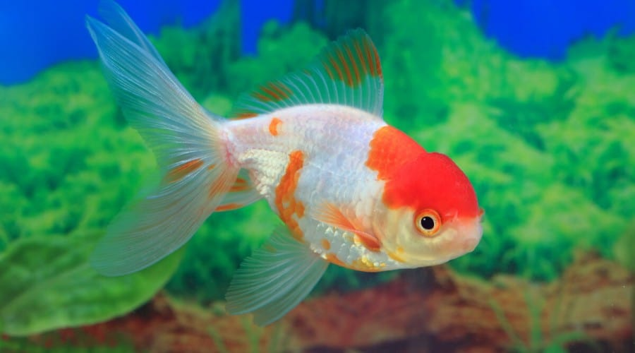 Macro shot of an orange and white goldfish against a blurred aquarium background