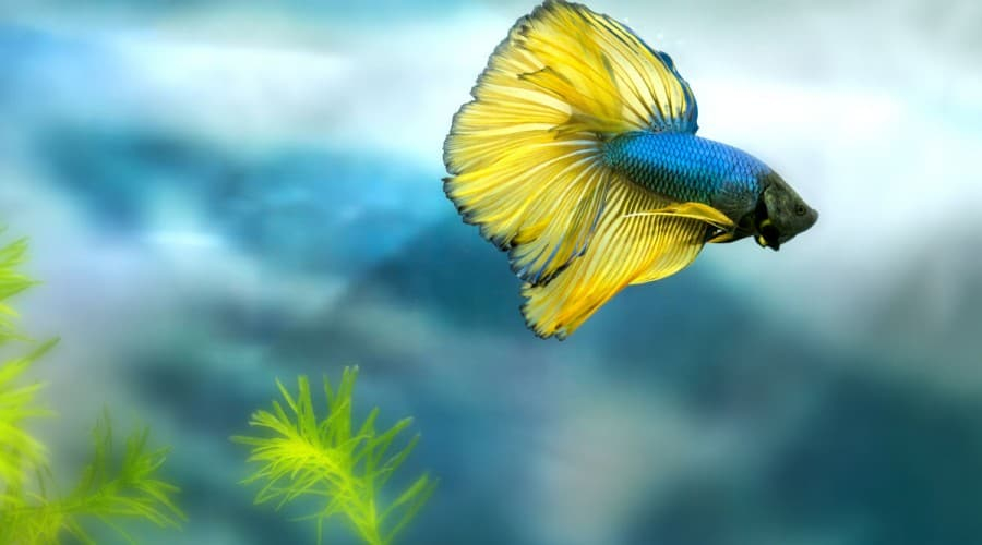 A blue and yellow betta swimming against a blurred blue background