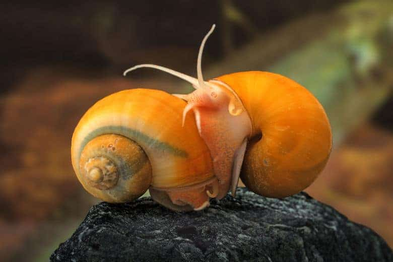 Close up of two apple snails on an aquarium rock