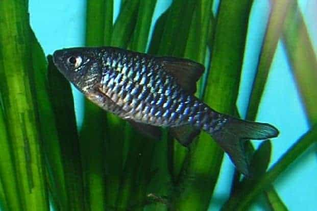 A metallic black and silver checkered barb in a heavily planted tank
