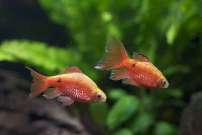 close up of 2 rosy barb in a a planted tank