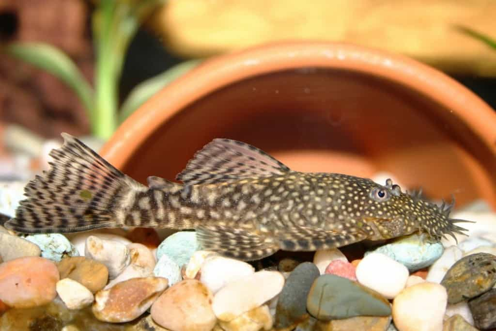 A bristlenose pleco in a gravel lined tank, in front of the open mouth of a semi-buried plant pot