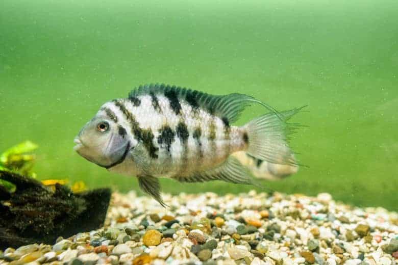 Convict cichlid in a gravel bottom aquarium
