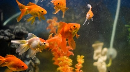 Many goldfish swimming about their aquarium
