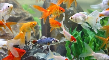 Many different types of goldfish haphazardly swimming about their aquarium