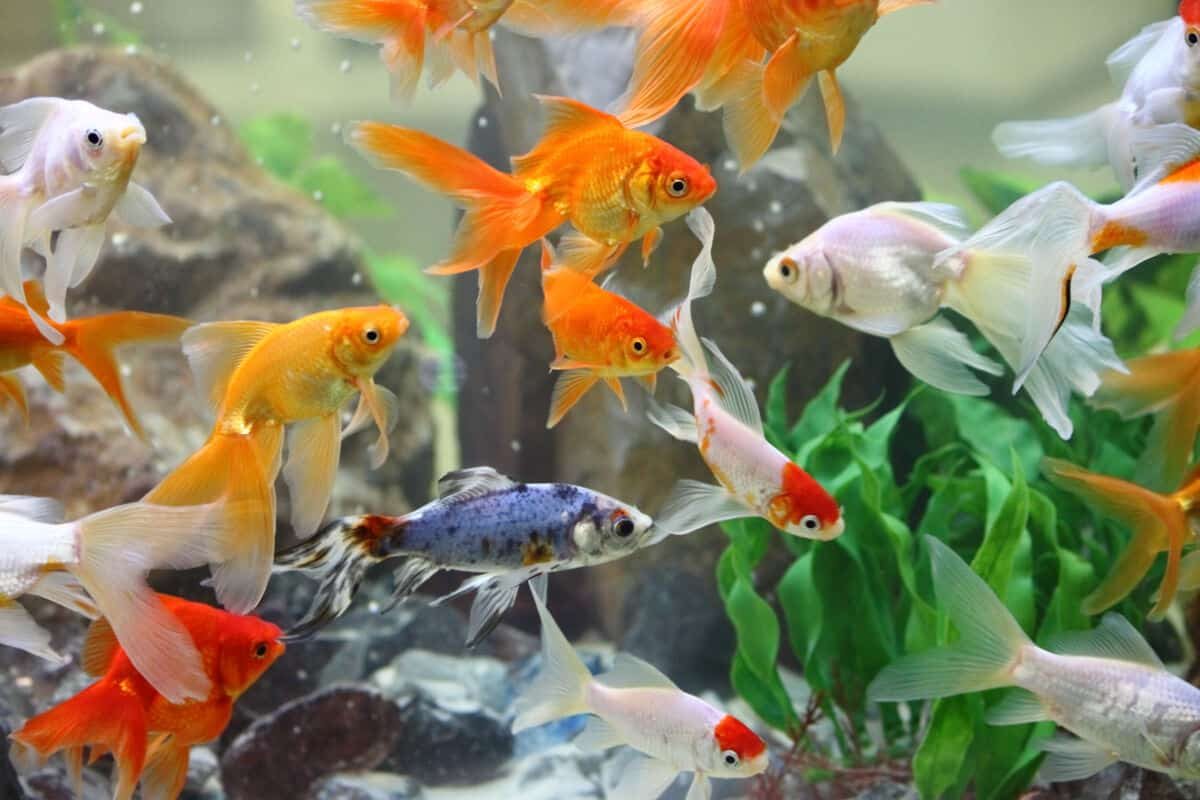 Orange goldfish in a gravel bottomed tank
