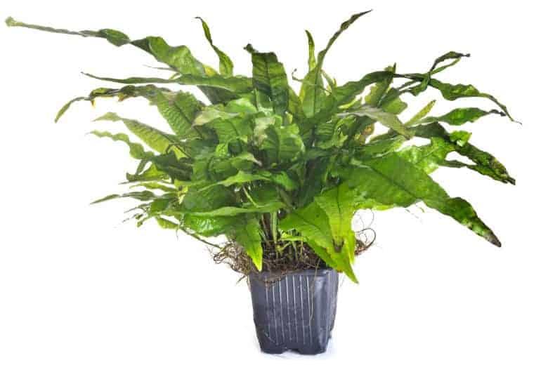 Java fern isolated on white