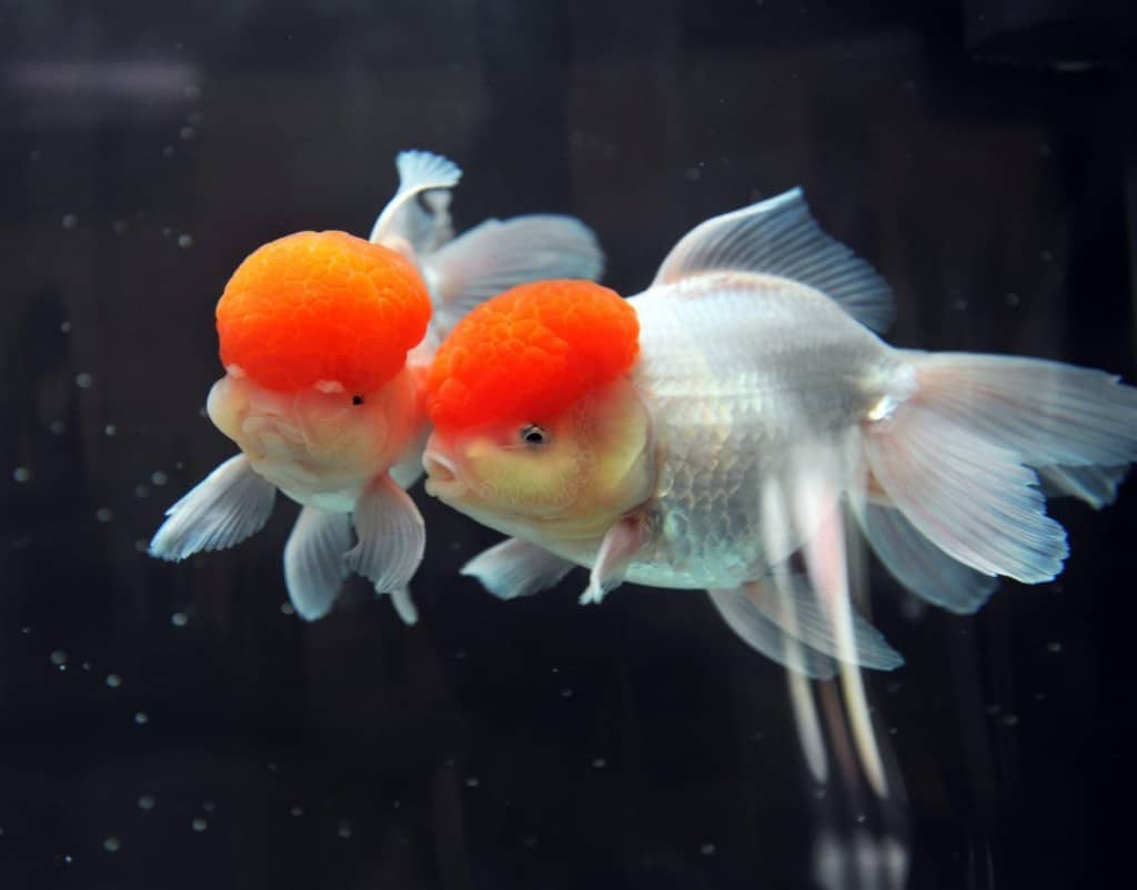 Two red cap oranda isolated on a black background