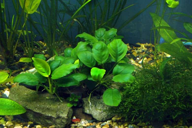Anubias nana in the foregorund of a planted tank