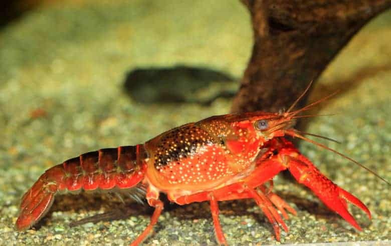 Side view of a red crayfish in a gravel bottom aquarium