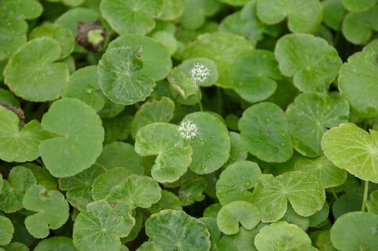Top view photo of some brazilian pennywort above the water surface