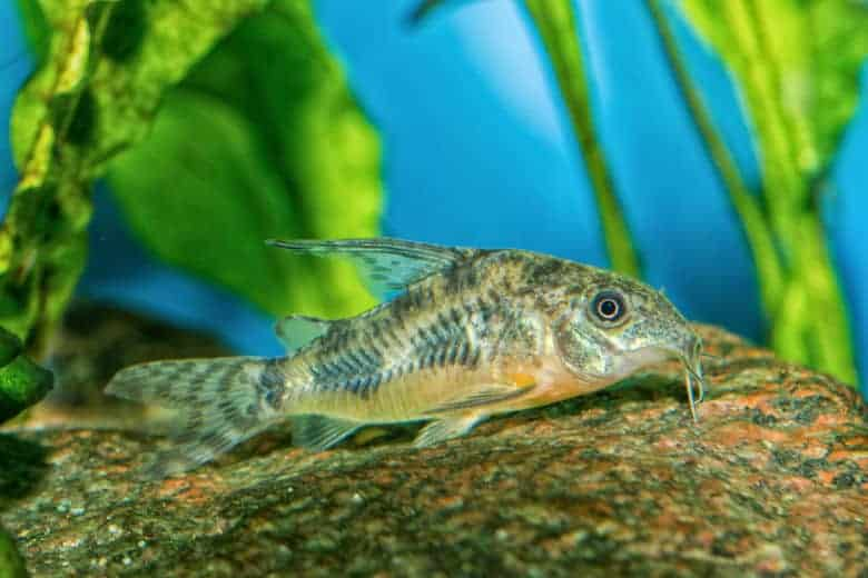 Cory catfish in a home aquarium